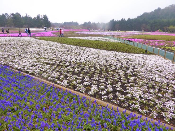 Fuji Shiba Sakura Festival Blog Review