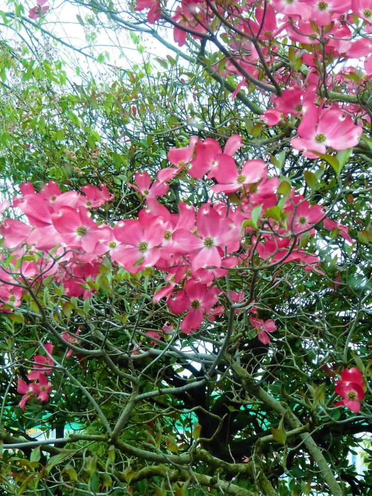 Shibazakura Pink Moss