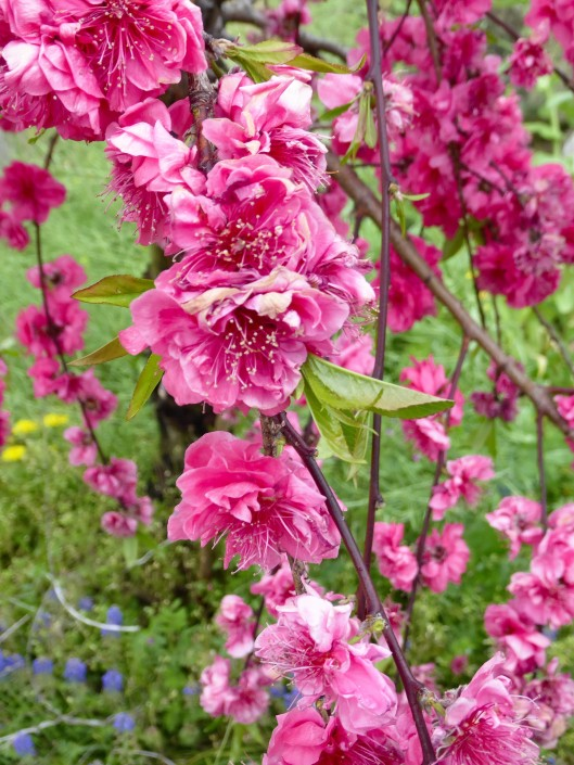 Pink Moss Flowerss Japan