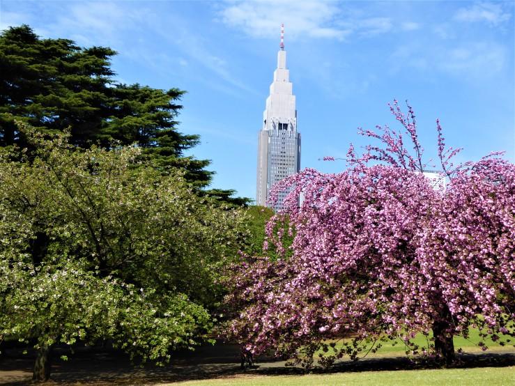 Cherry Blossom Season Shinjuku Gyoen