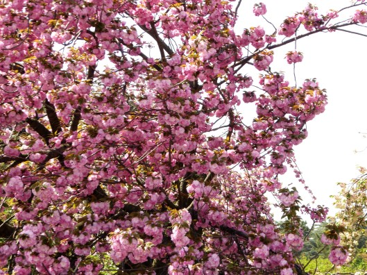 where to find cherry blossoms in Tokyo