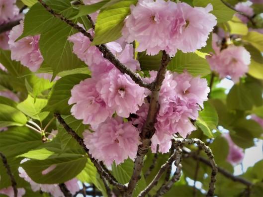 Sakura viewing Tokyo