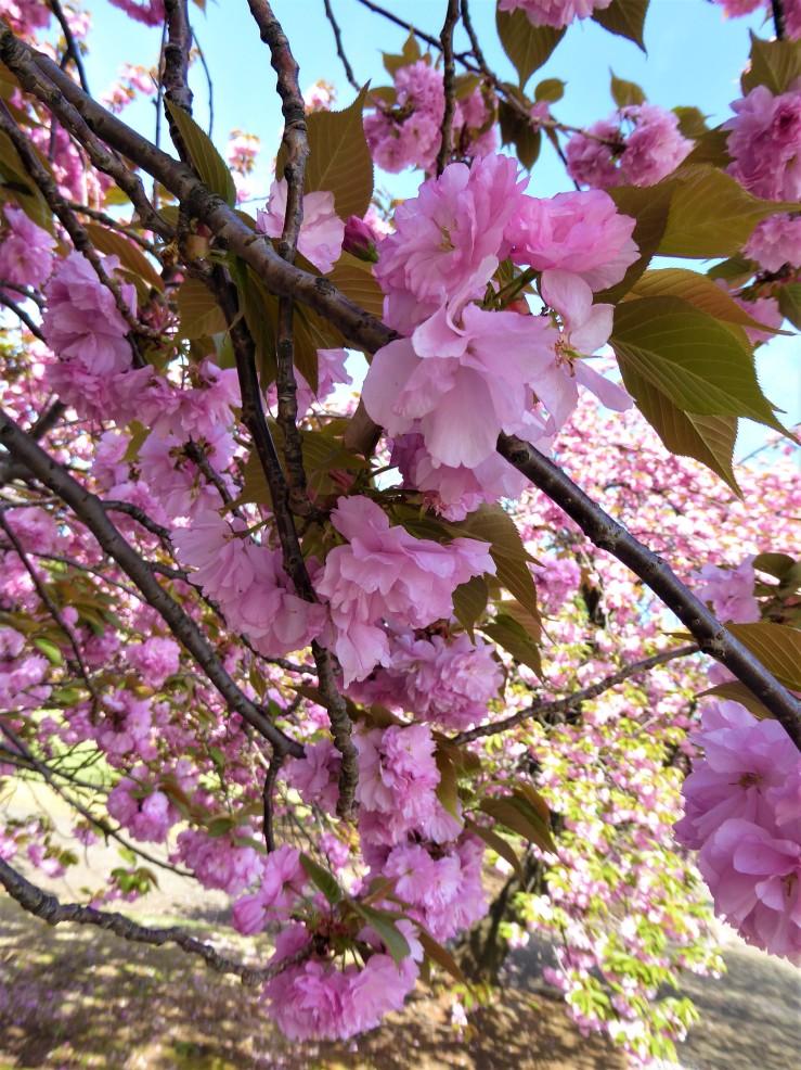 cherry blossom parks Japan