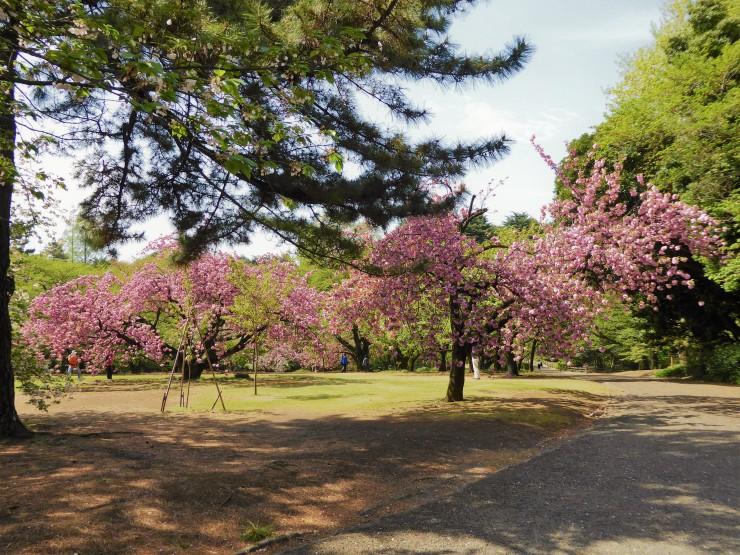 Showa Kinen cherry blossoms