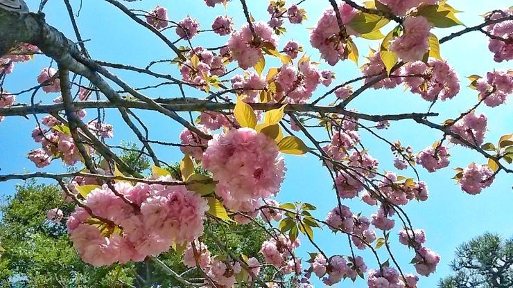 sakura and yaezakura Japan