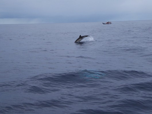 dolphin whale watching Azores